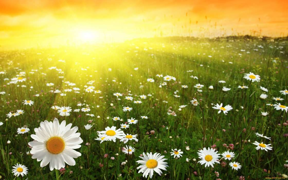 Download mobile wallpaper Plants, Landscape, Flowers, Sun, Camomile for free.