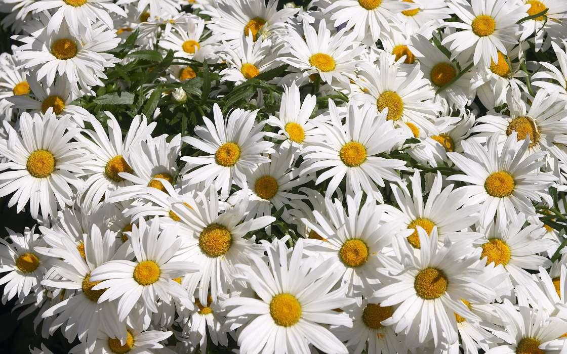 Игнат, фото цветы открытка ромашки