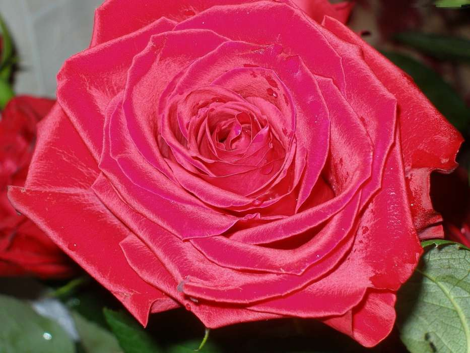 его фото розы красивое печать этого
