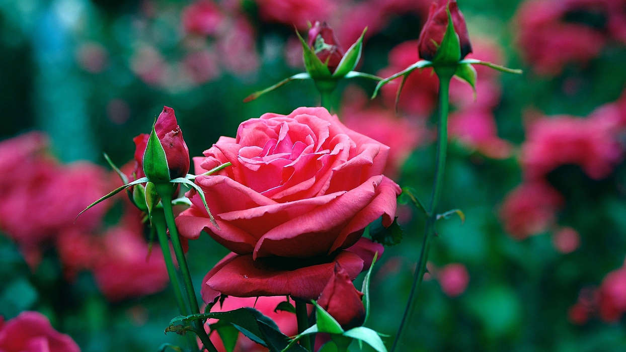 Download mobile wallpaper Plants, Flowers, Roses for free.