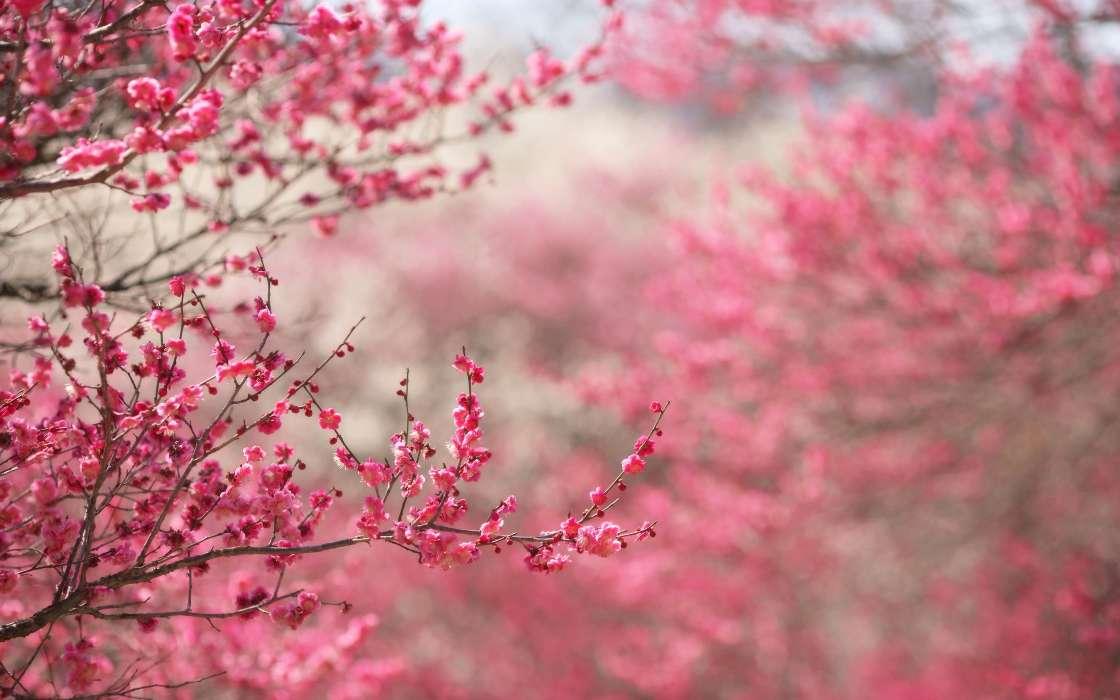 Download Bilder Für Das Handy Pflanzen Blumen Sakura Kostenlos