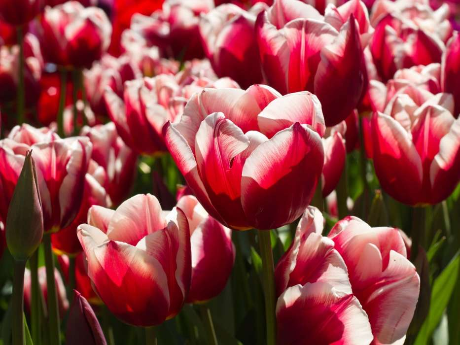 Картинка шикарные тюльпаны
