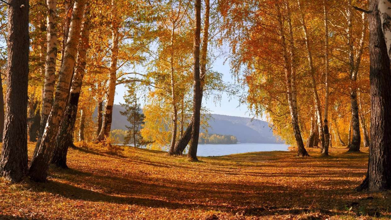 Download mobile wallpaper Landscape, Trees, Autumn, Leaves, Birches for free.