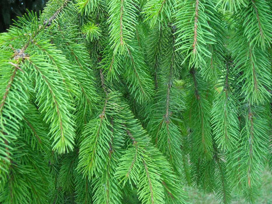 Download mobile wallpaper Plants, Background, Needle, Fir-trees for free.