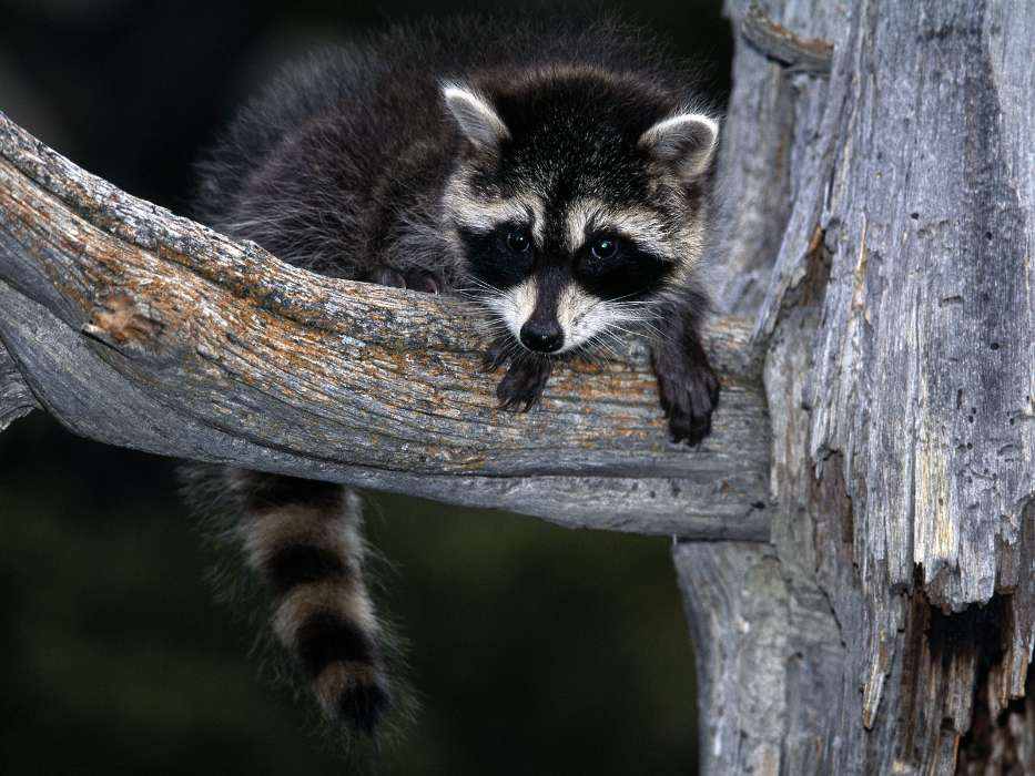 Download mobile wallpaper Animals, Raccoons for free.