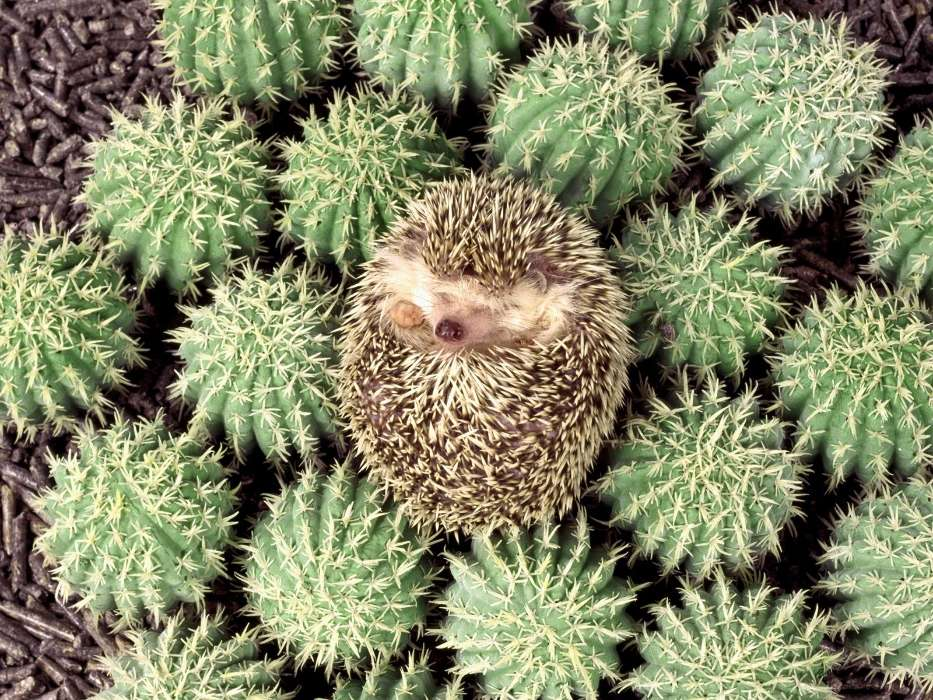 Download mobile wallpaper Animals, Hedgehogs, Cactuses for free.