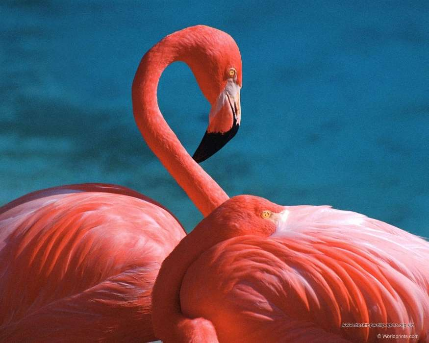 Download mobile wallpaper Animals, Birds, Flamingo for free.