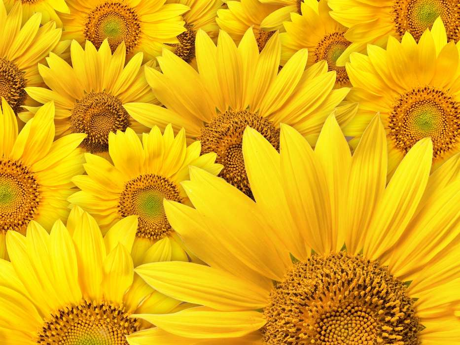 Download mobile wallpaper Plants, Background, Sunflowers for free.