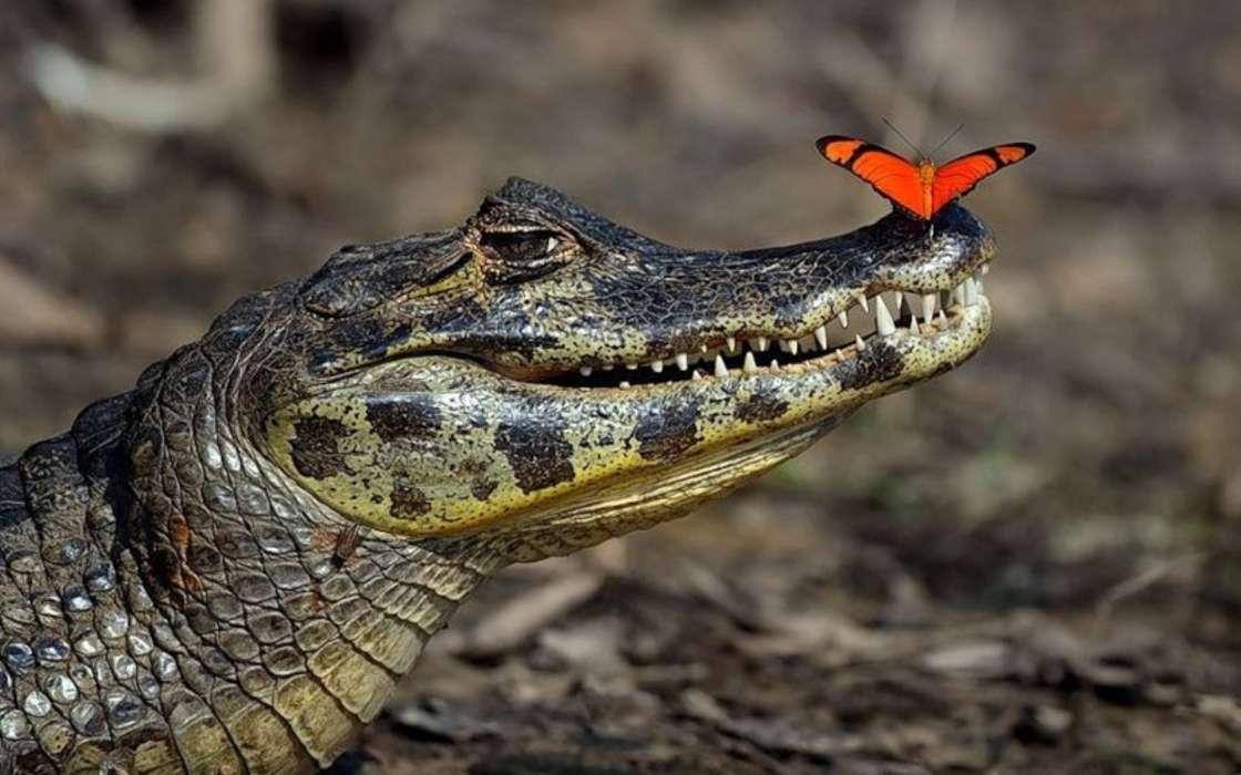 Картинки прикольного крокодила