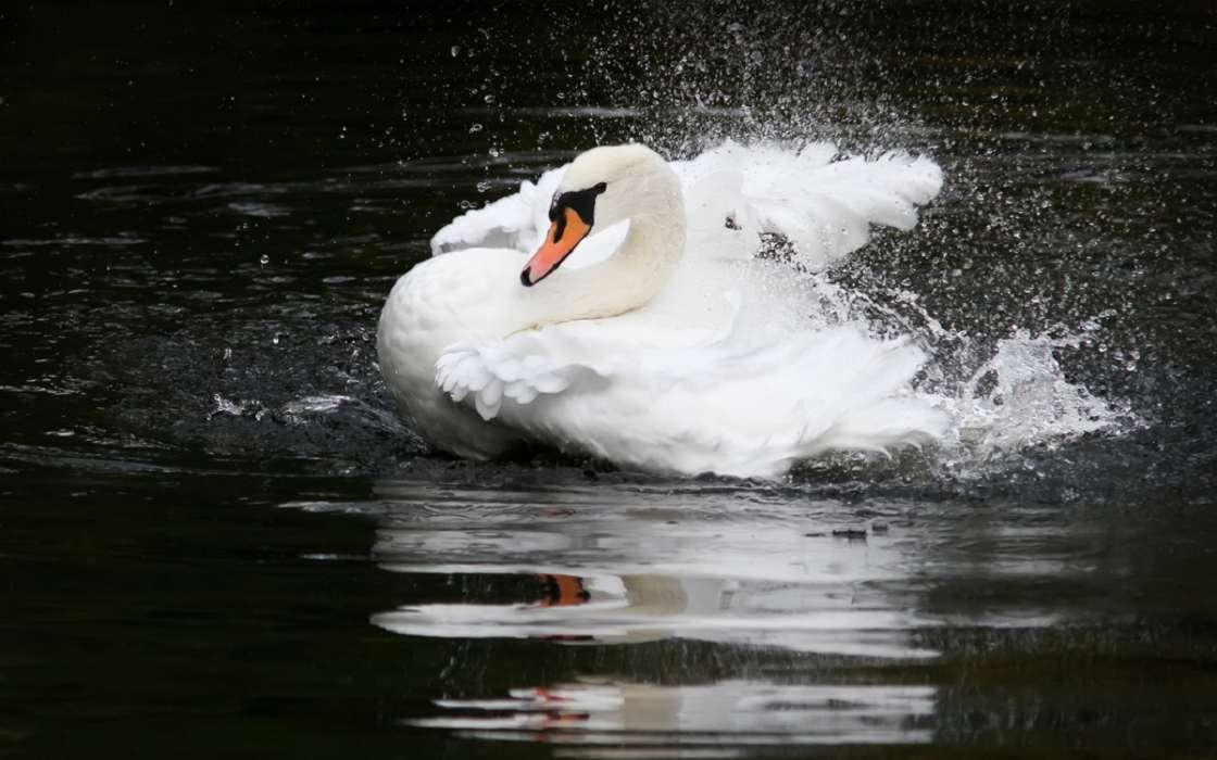 Fondos Animados Para Celular De Animales: Descargar La Imagen En Teléfono: Animales, Birds, Cisnes
