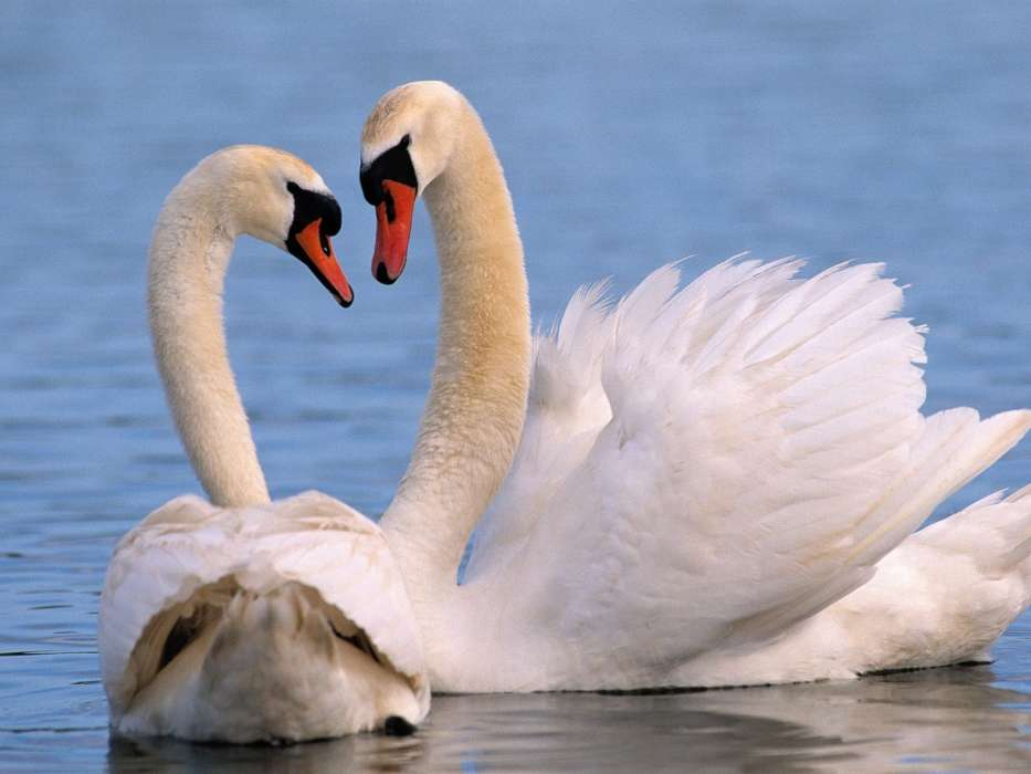 Download mobile wallpaper Animals, Birds, Swans for free.