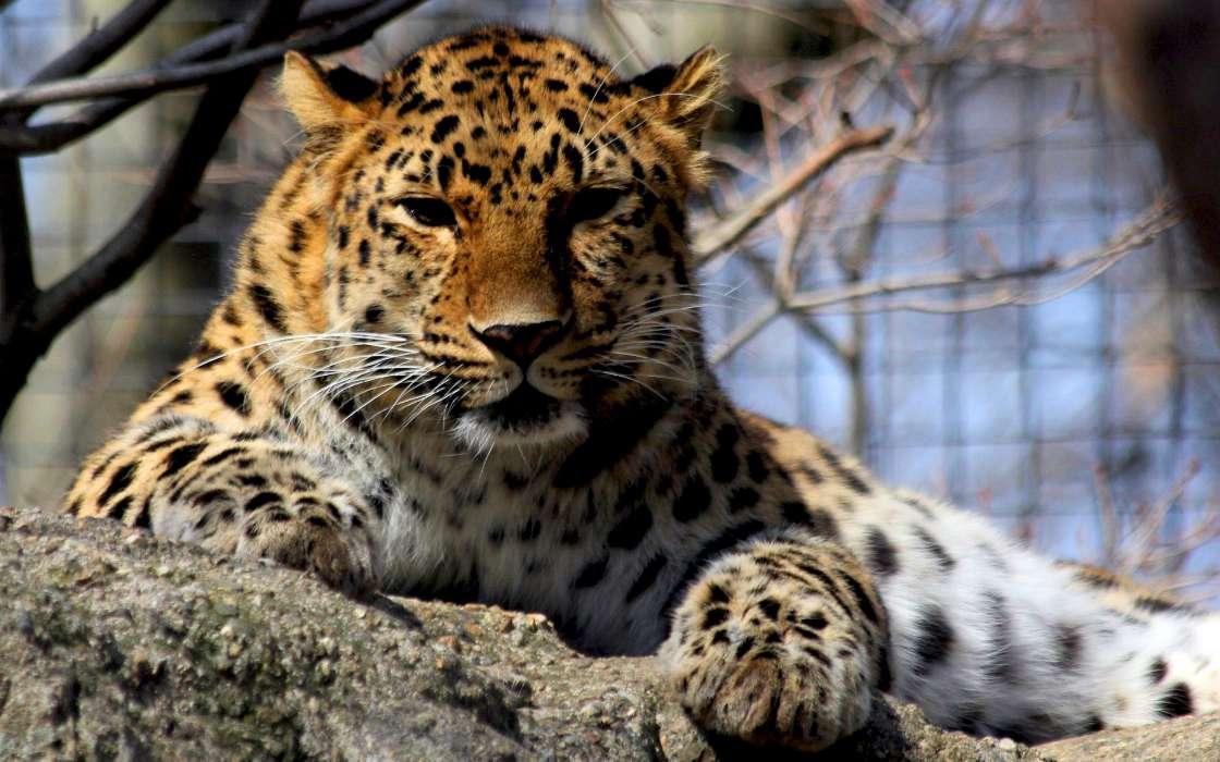 Fondo De Pantalla De Leopardo Fondos De Pantalla Gratis: Descargar La Imagen En Teléfono: Animales, Leopardos
