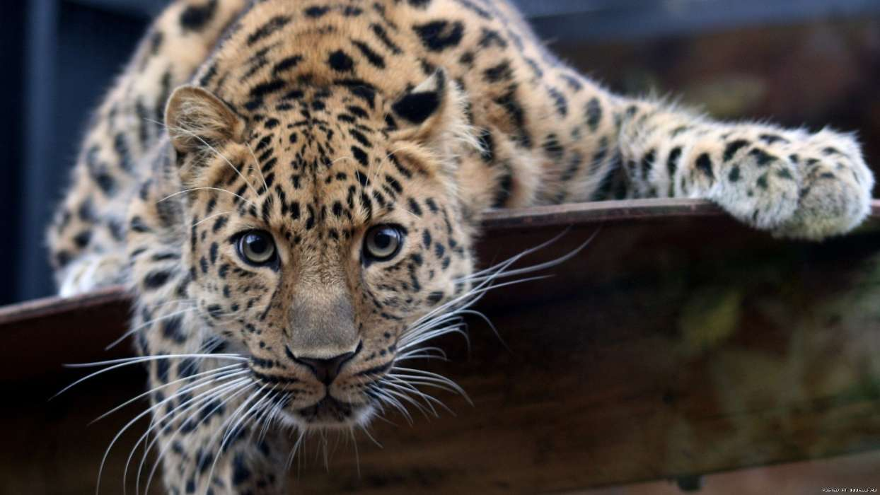 Download mobile wallpaper Animals, Leopards for free.