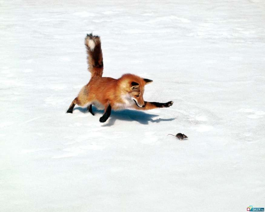 Download mobile wallpaper Animals, Mice, Snow, Fox for free.