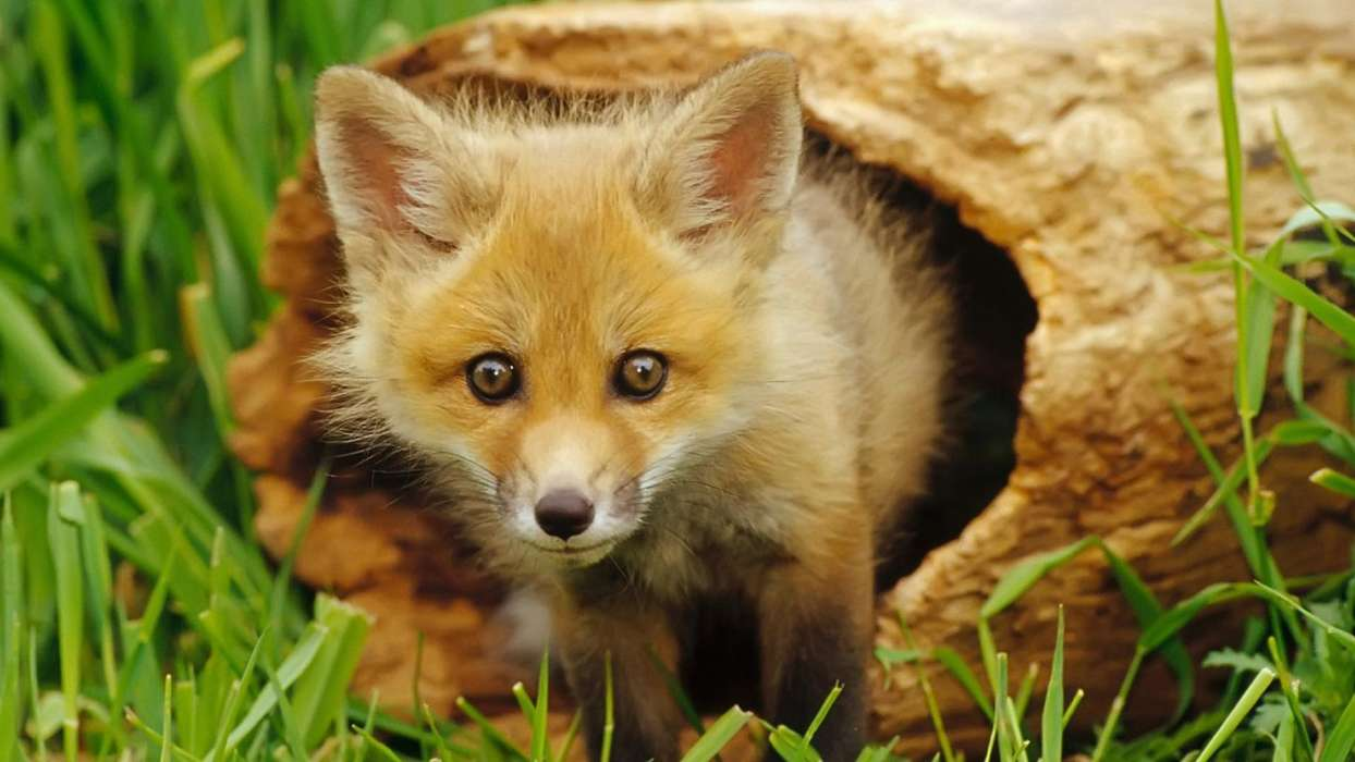 Download mobile wallpaper Animals, Fox for free.