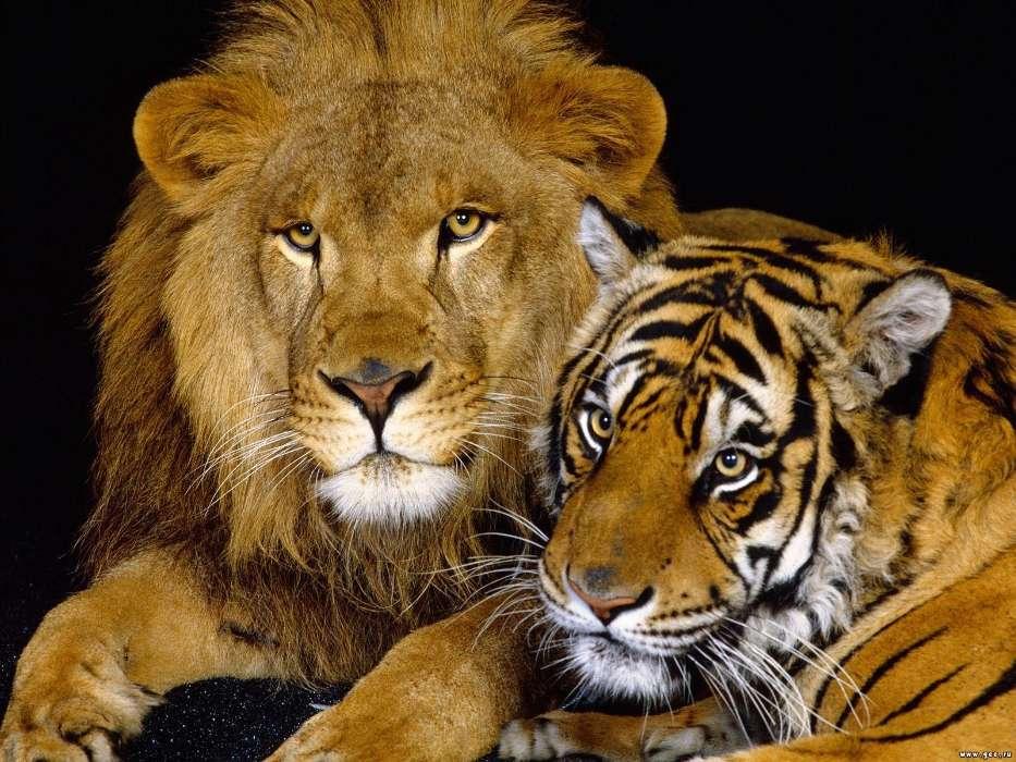 картинки с львами и тиграми