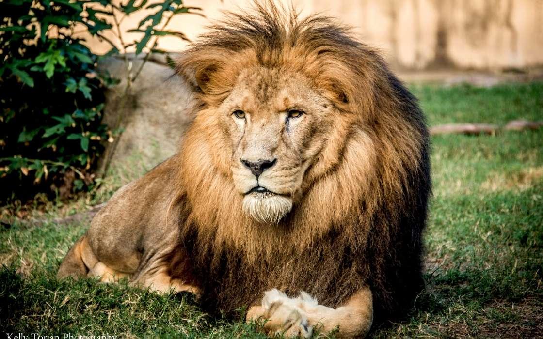 красивые обои на телефон львы пост будет моих