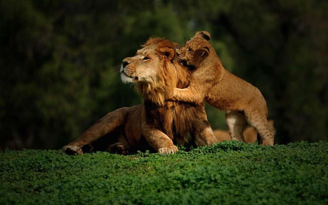 Лев и львица обои на телефон