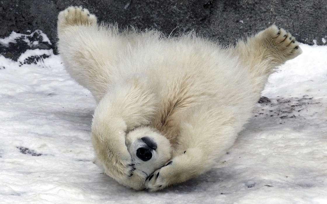 Картинки медведей белых смешные