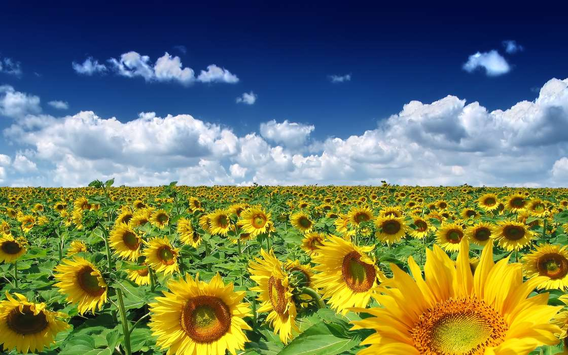Download mobile wallpaper Plants, Landscape, Sunflowers, Sky for free.