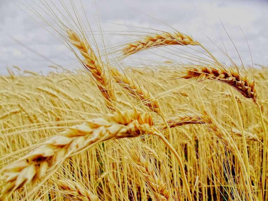 Картинки о урожае хлеба