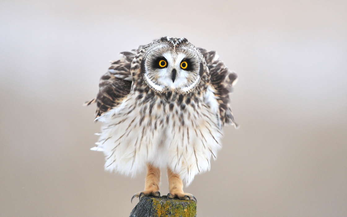 Download mobile wallpaper Animals, Birds, Owl for free.