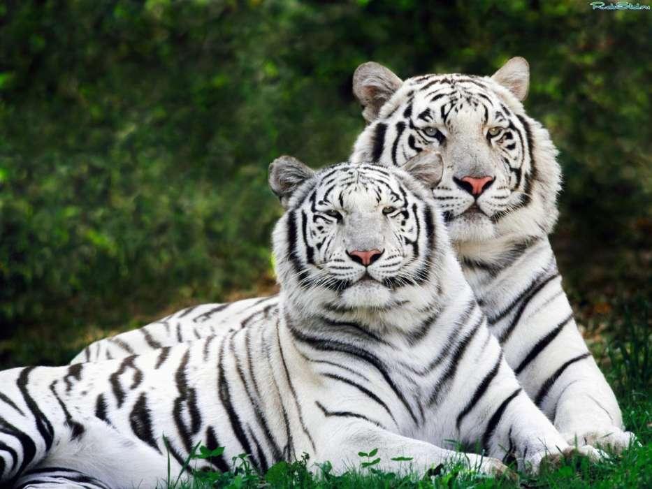 скачать картинки тигров