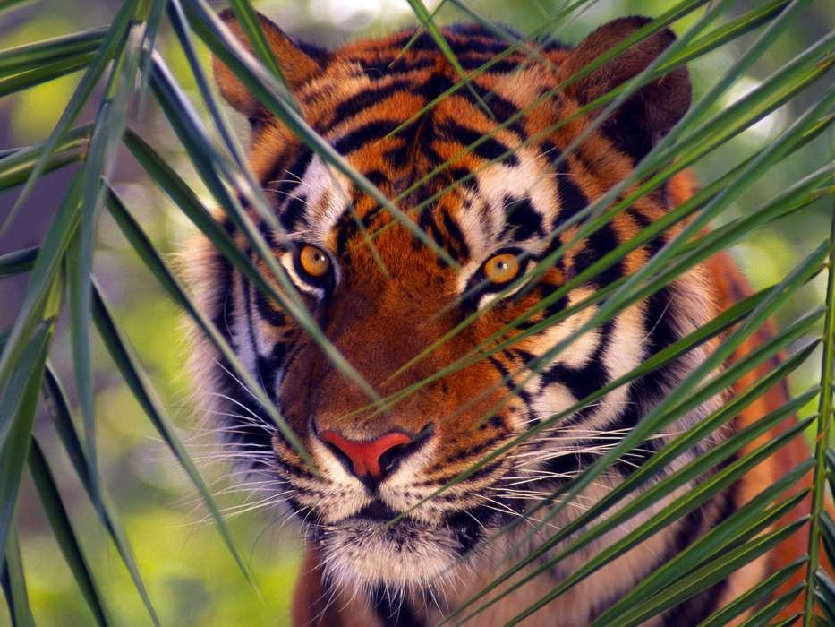 Fondo de pantalla de tigres gratis
