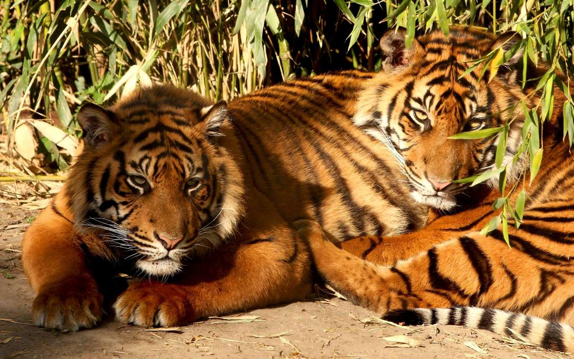 Картинки, открытки животные тигр