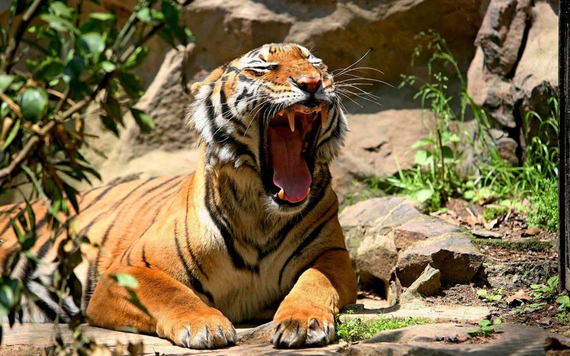Download mobile wallpaper Animals, Tigers for free.