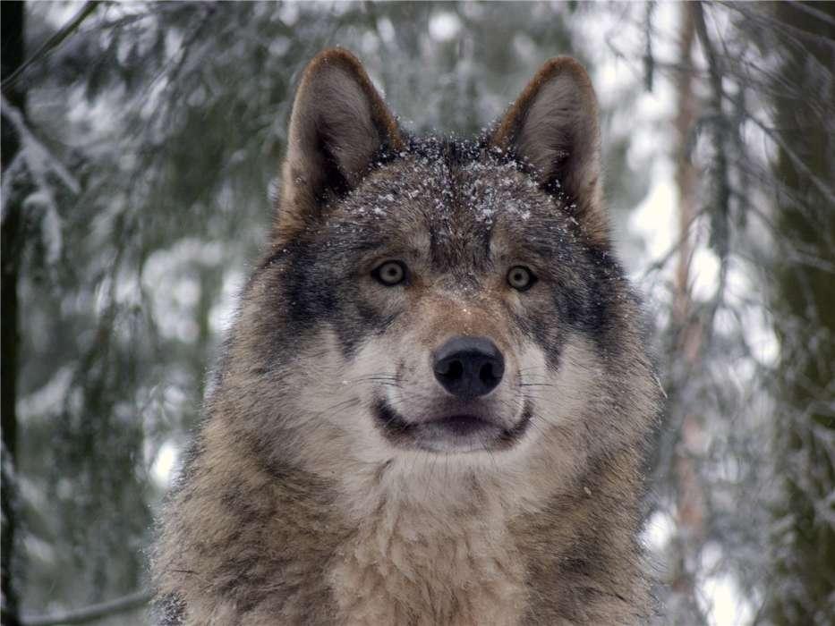 Прикольные картинки на телефон с волками, выздоравливай скорей любимая