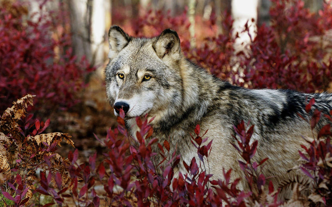 Download mobile wallpaper Animals, Wolfs for free.