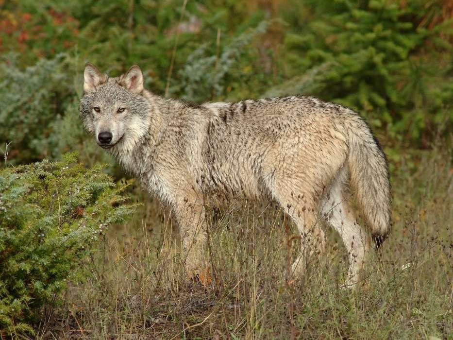 Download Bilder für das Handy: Tiere, Wölfe, kostenlos. 4768