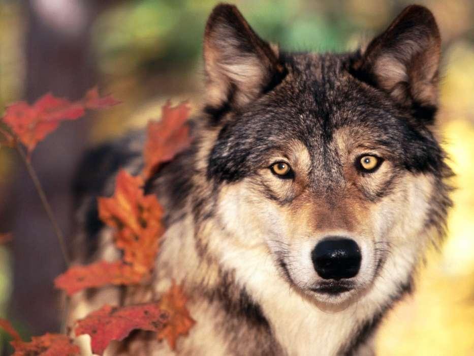 Download Bilder für das Handy: Tiere, Wölfe, kostenlos. 9120