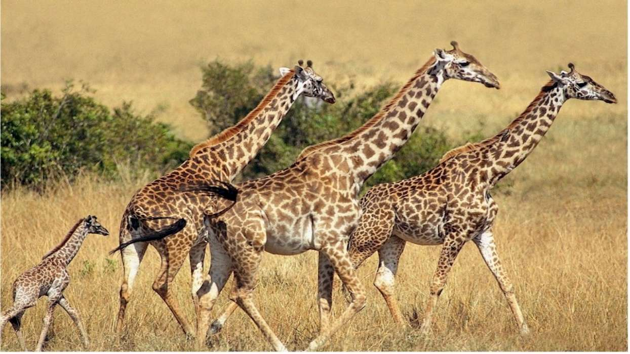 Download mobile wallpaper Animals, Giraffes for free.