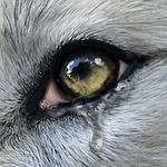 Wolf online 2 icon