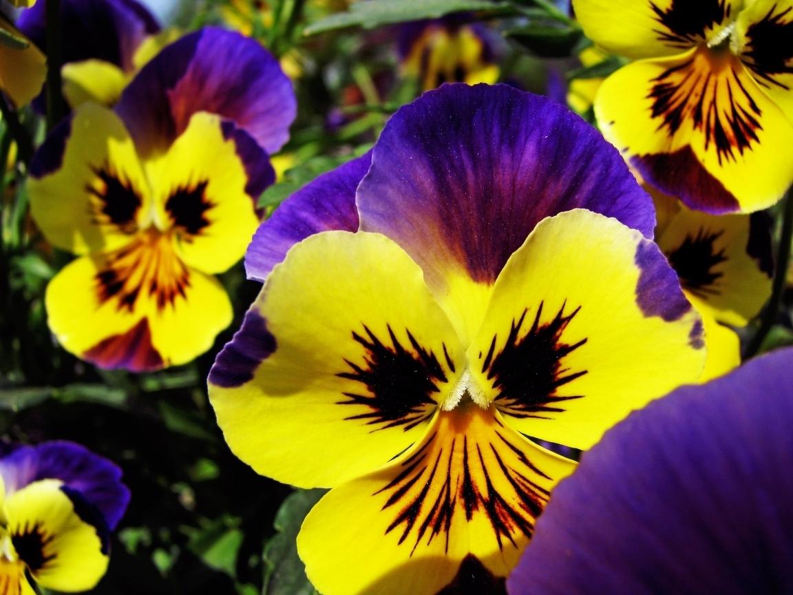4599 Заставки и Обои Анютины Глазки на телефон. Скачать Растения, Цветы, Анютины Глазки картинки бесплатно