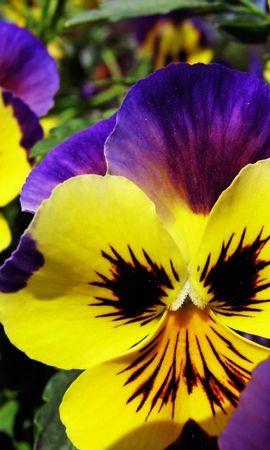 4599 скачать обои Растения, Цветы, Анютины Глазки - заставки и картинки бесплатно