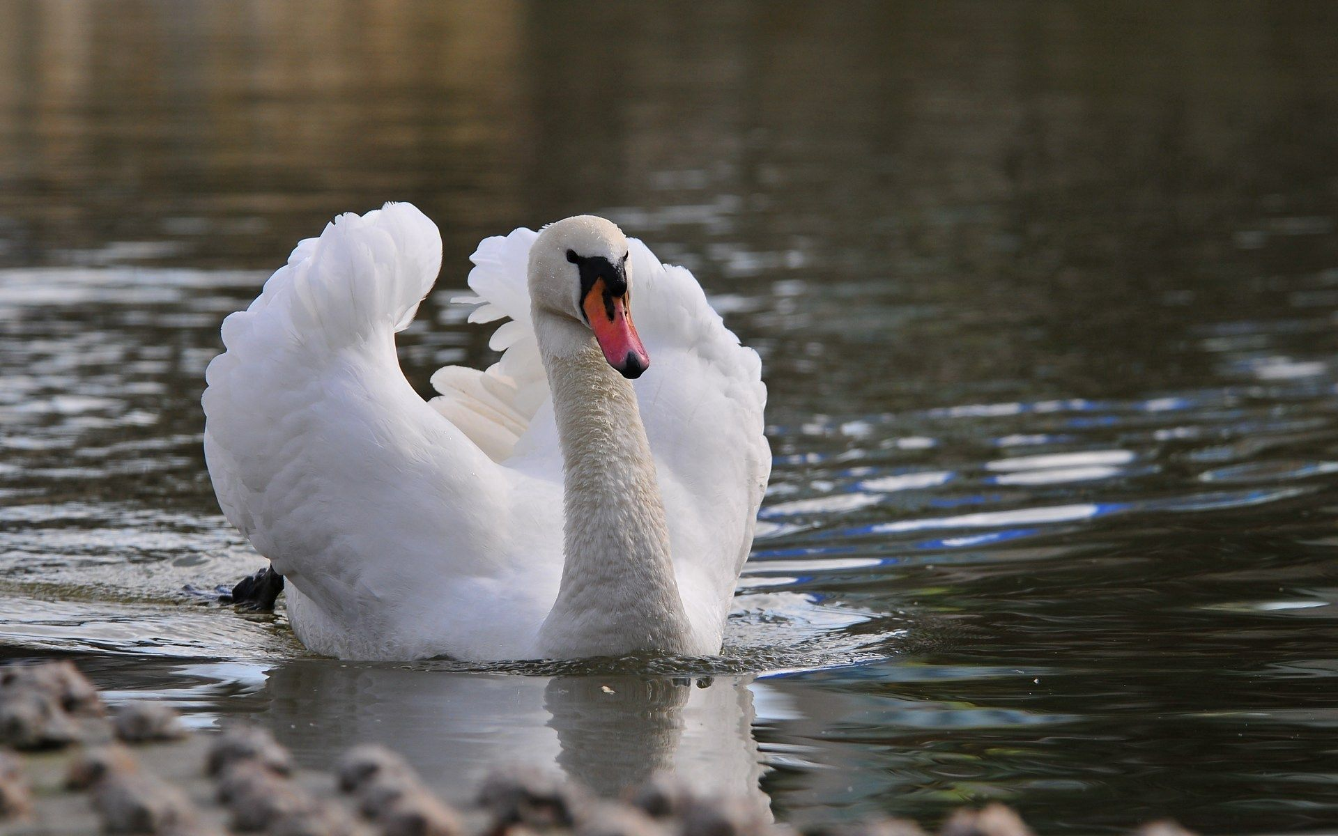 121548 download wallpaper Animals, Water, Feather, Bird, To Swim, Swim, Swan screensavers and pictures for free