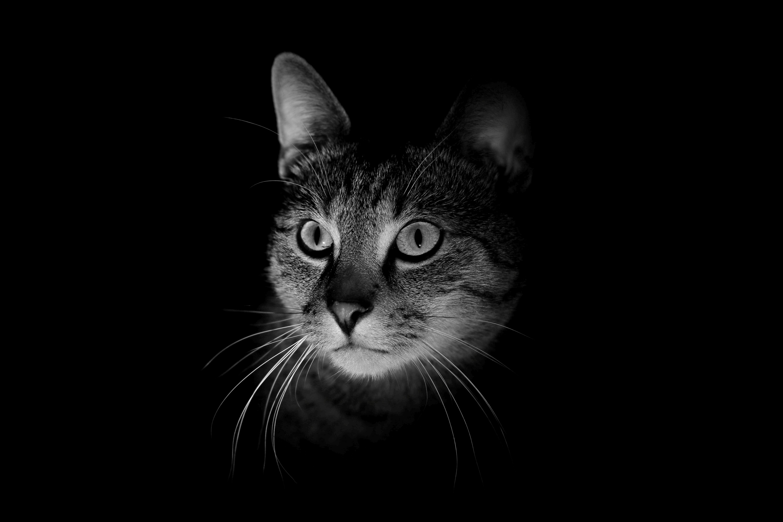 87793 Protetores de tela e papéis de parede Animais em seu telefone. Baixe Animais, Gato, Focinho, Trevas, Escuridão, Bw, Chb fotos gratuitamente