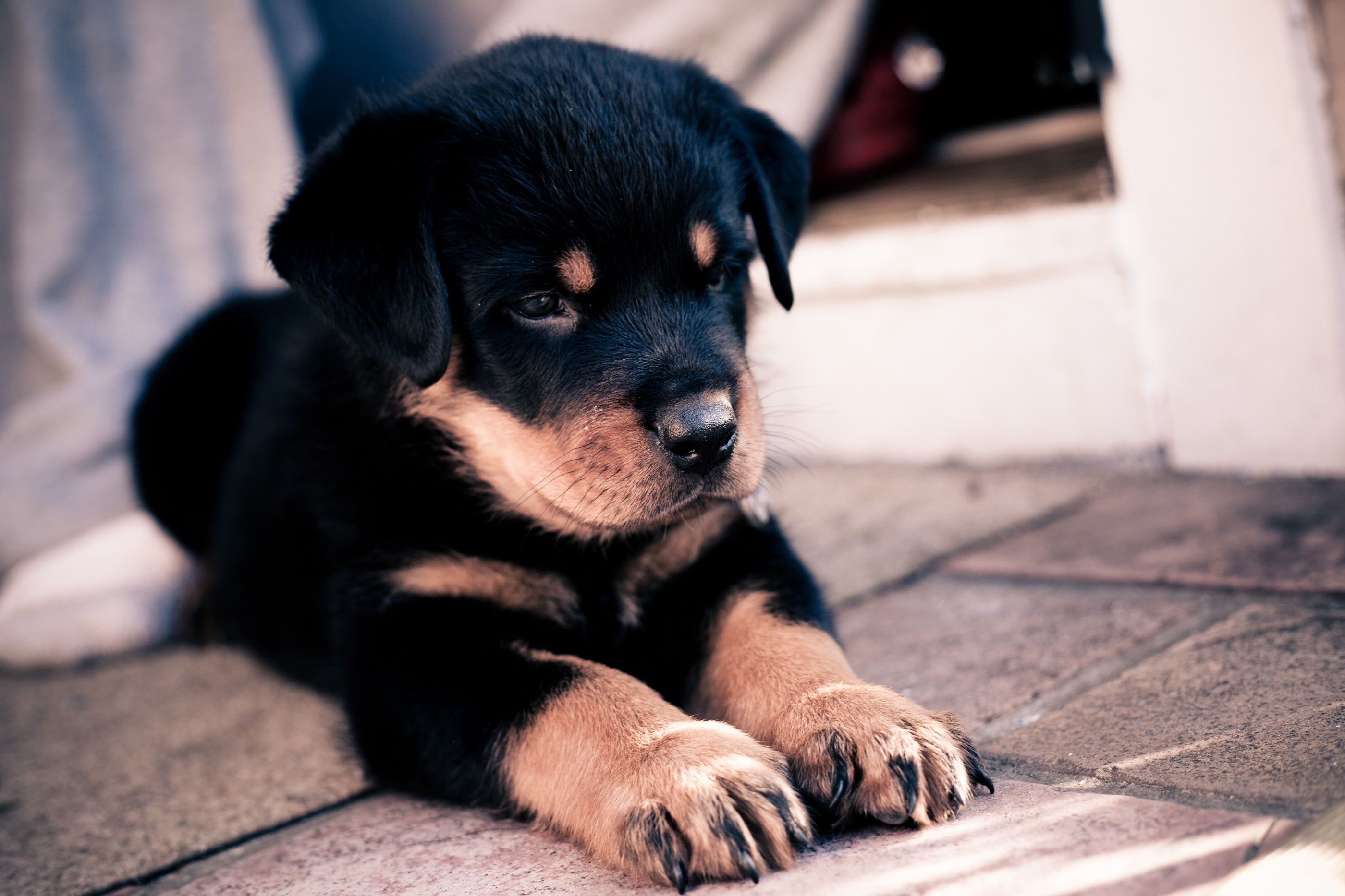 73171 Screensavers and Wallpapers Puppy for phone. Download Dog, Animals, Muzzle, Puppy, Paws, Rottweiler pictures for free