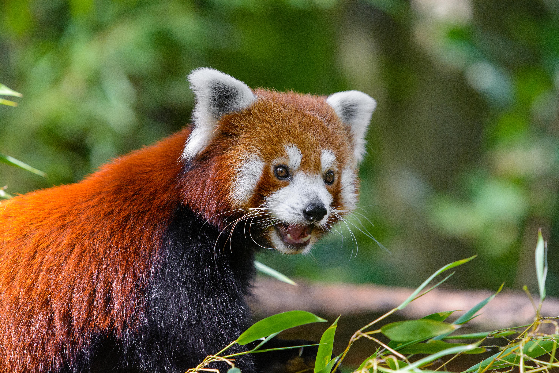 156855 download wallpaper Animals, Little Panda, Small Panda, Fiery Panda, Red Panda, Panda, Surprise, Astonishment screensavers and pictures for free