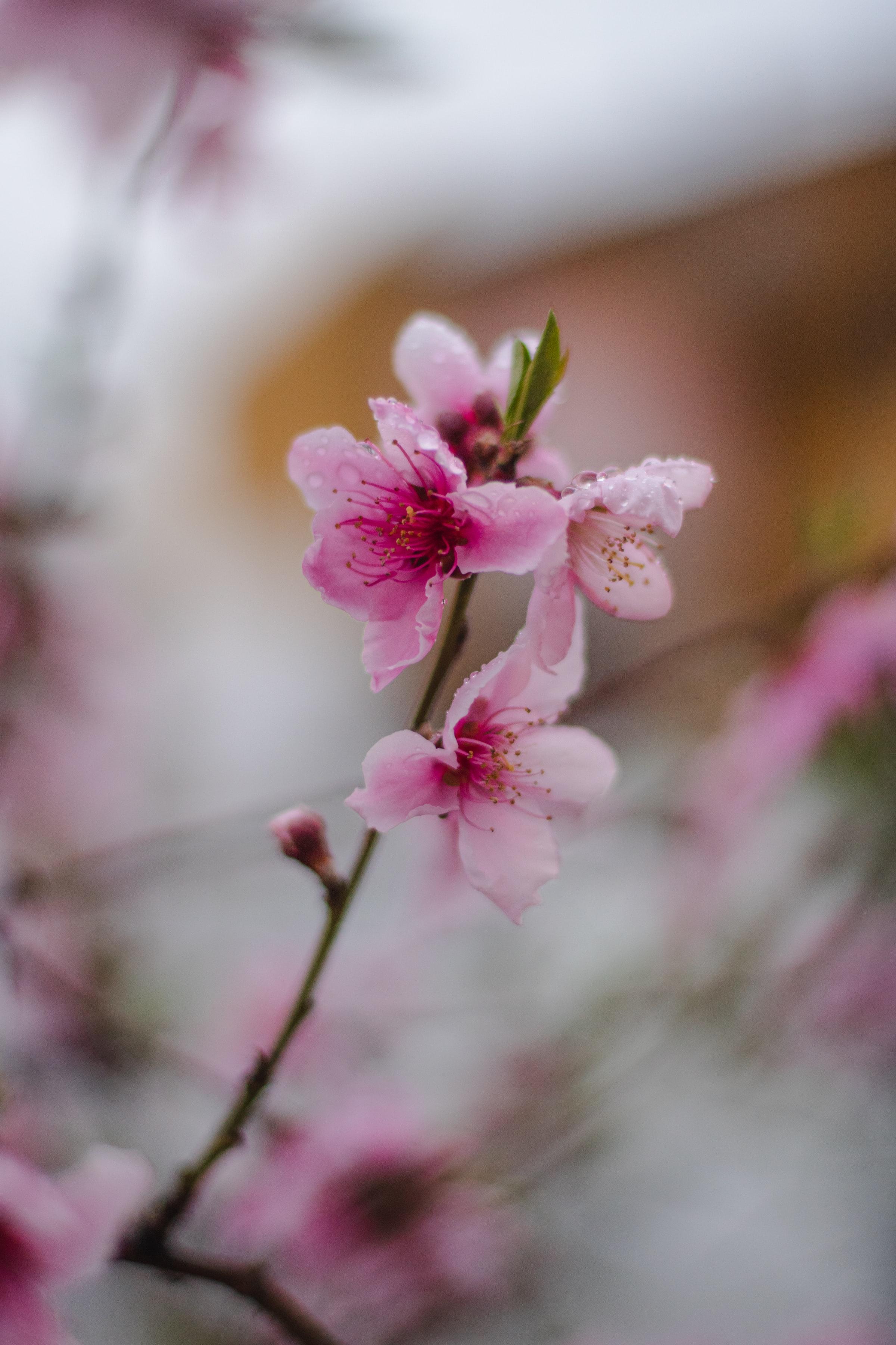 122641 Screensavers and Wallpapers Sakura for phone. Download Flowers, Sakura, Flower, Bloom, Flowering, Branch, Focus pictures for free