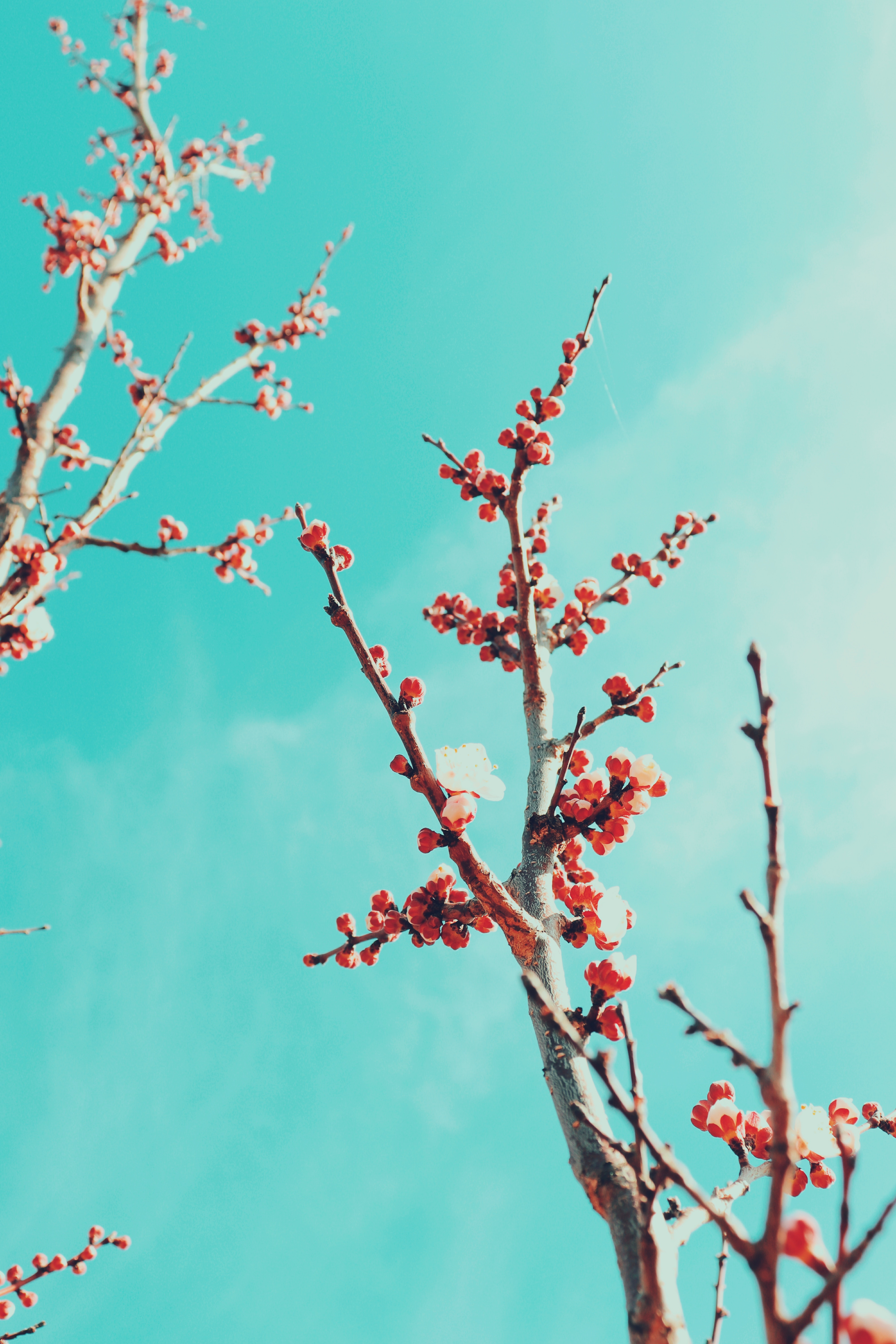 118624 Screensavers and Wallpapers Sakura for phone. Download Flowers, Sky, Sakura, Branches, Bloom, Flowering pictures for free