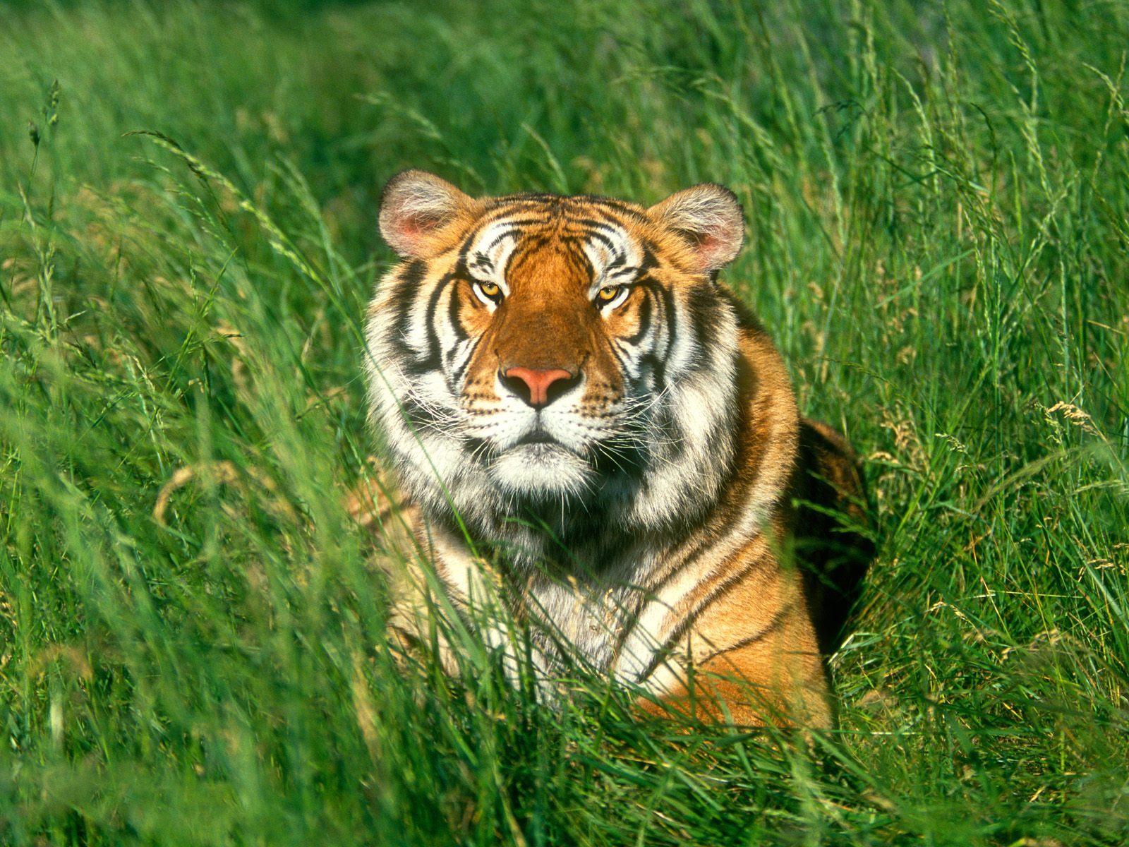 9317 скачать обои Животные, Трава, Тигры - заставки и картинки бесплатно