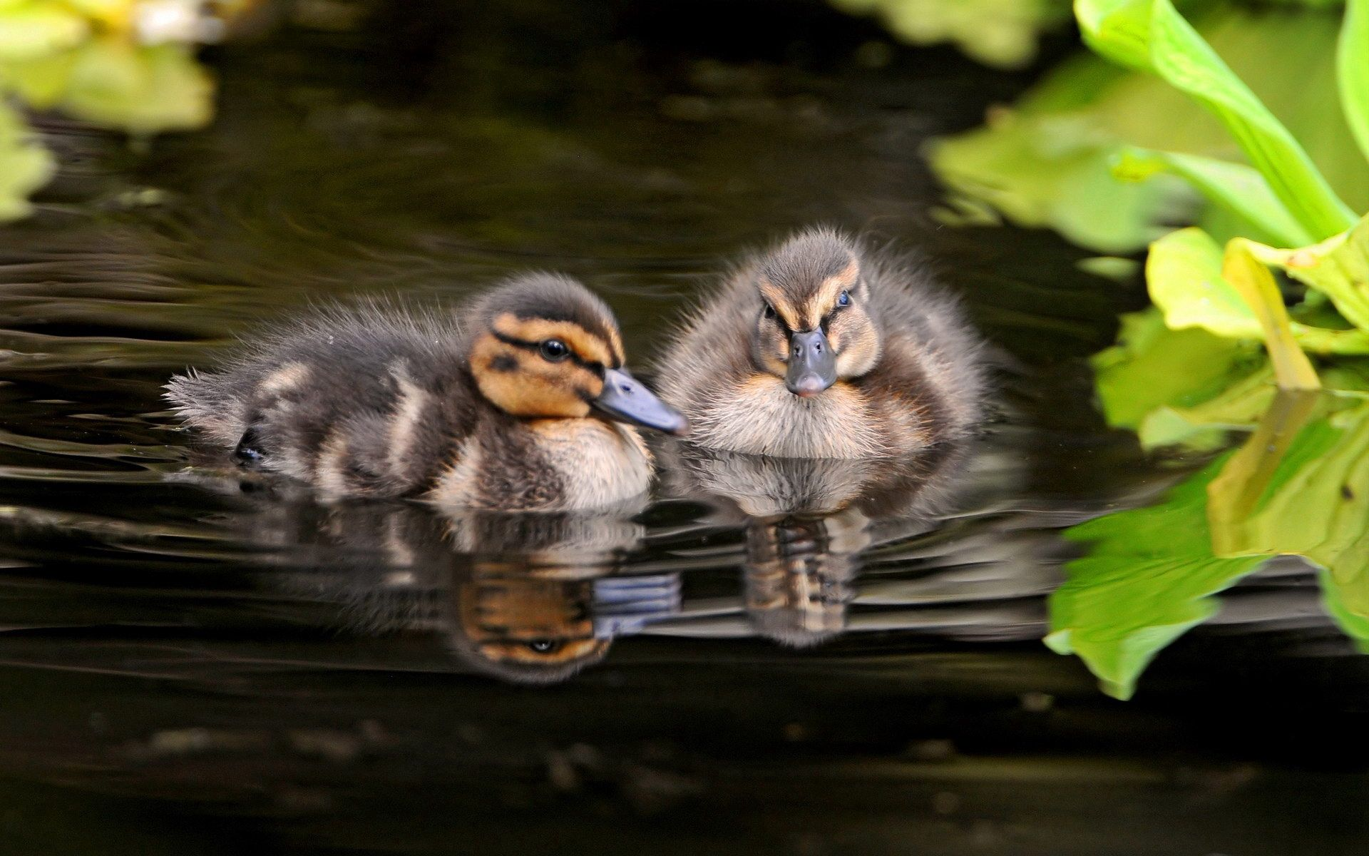 157428 download wallpaper Animals, Water, Grass, To Swim, Swim, Ducklings screensavers and pictures for free