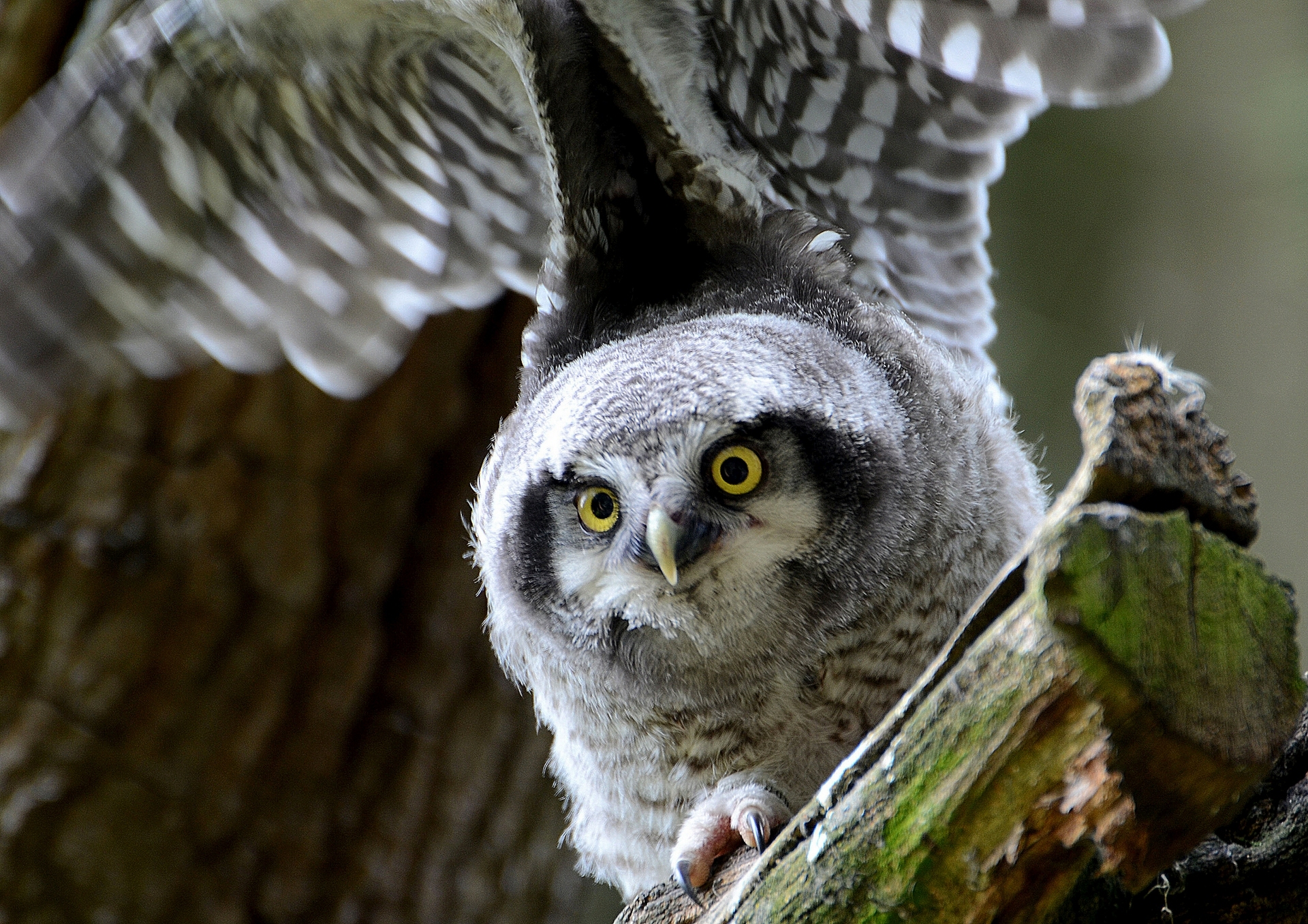 112497 Screensavers and Wallpapers Owl for phone. Download Animals, Hawk Owl, Owl, Predator, Sight, Opinion, Bird pictures for free