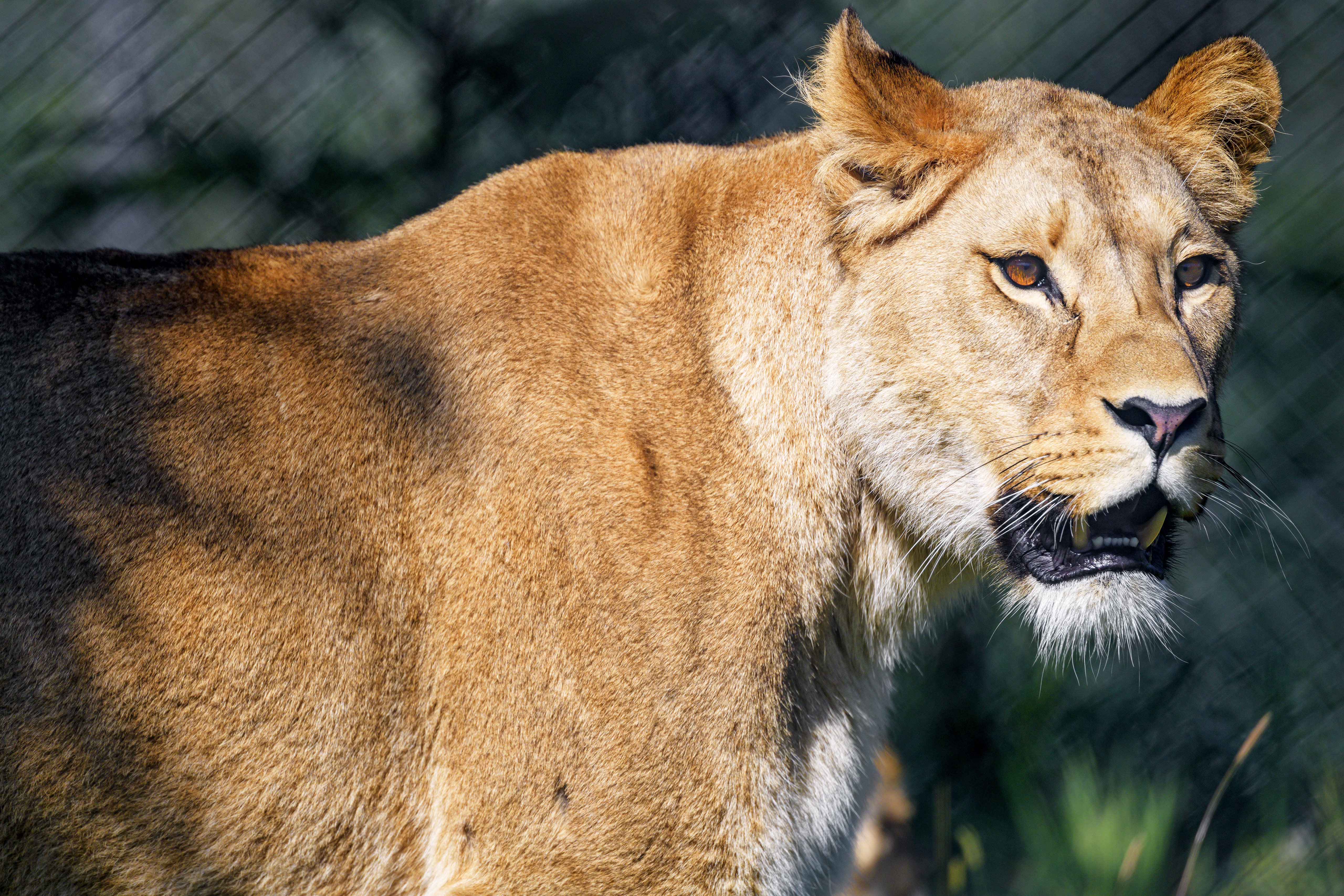 149607 download wallpaper Animals, Lioness, Predator, Sight, Opinion, To Fall, Mouth, Big Cat screensavers and pictures for free