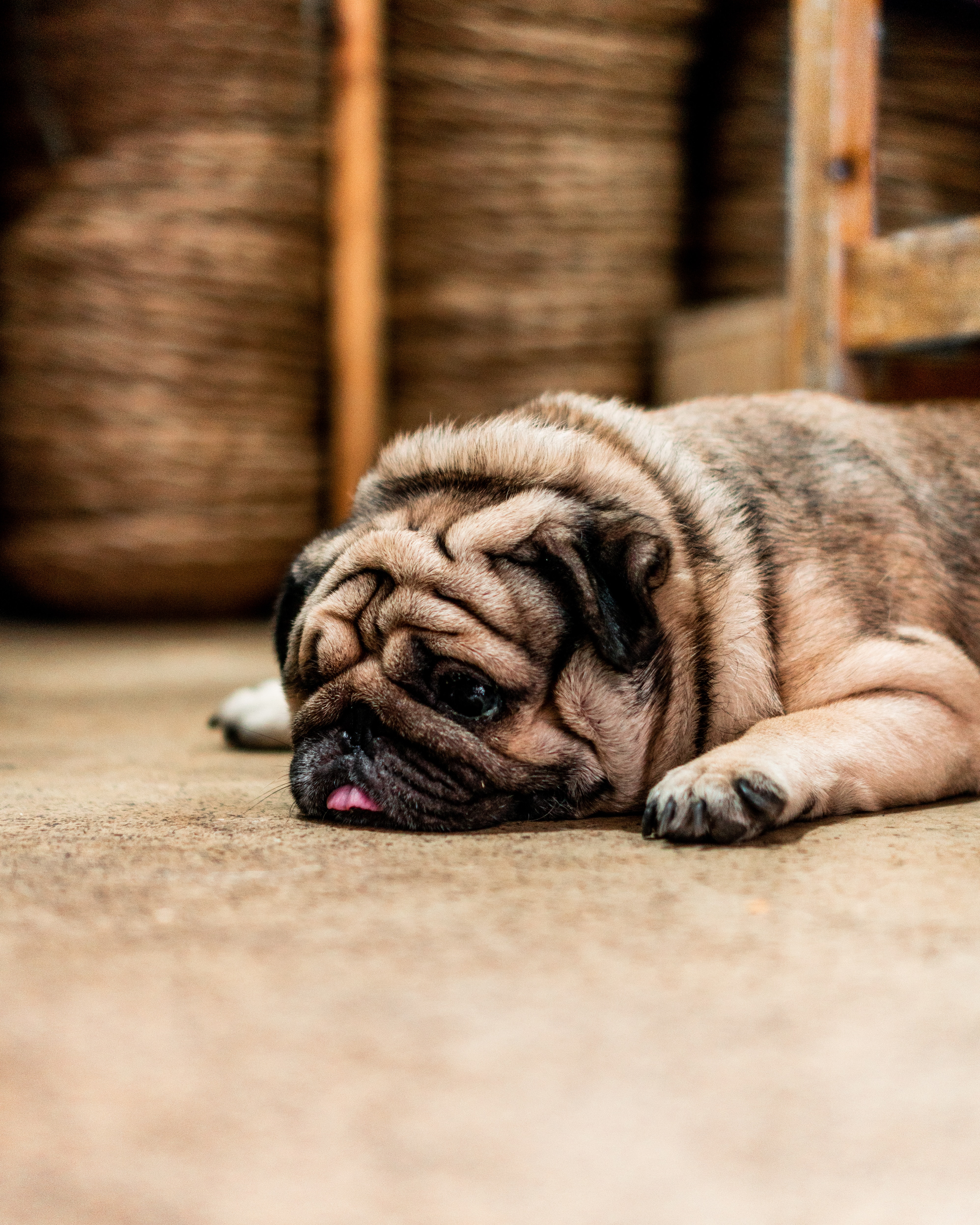 114827 download wallpaper Animals, Pug, Dog, Protruding Tongue, Tongue Stuck Out, Sadness, Sorrow, Pet screensavers and pictures for free
