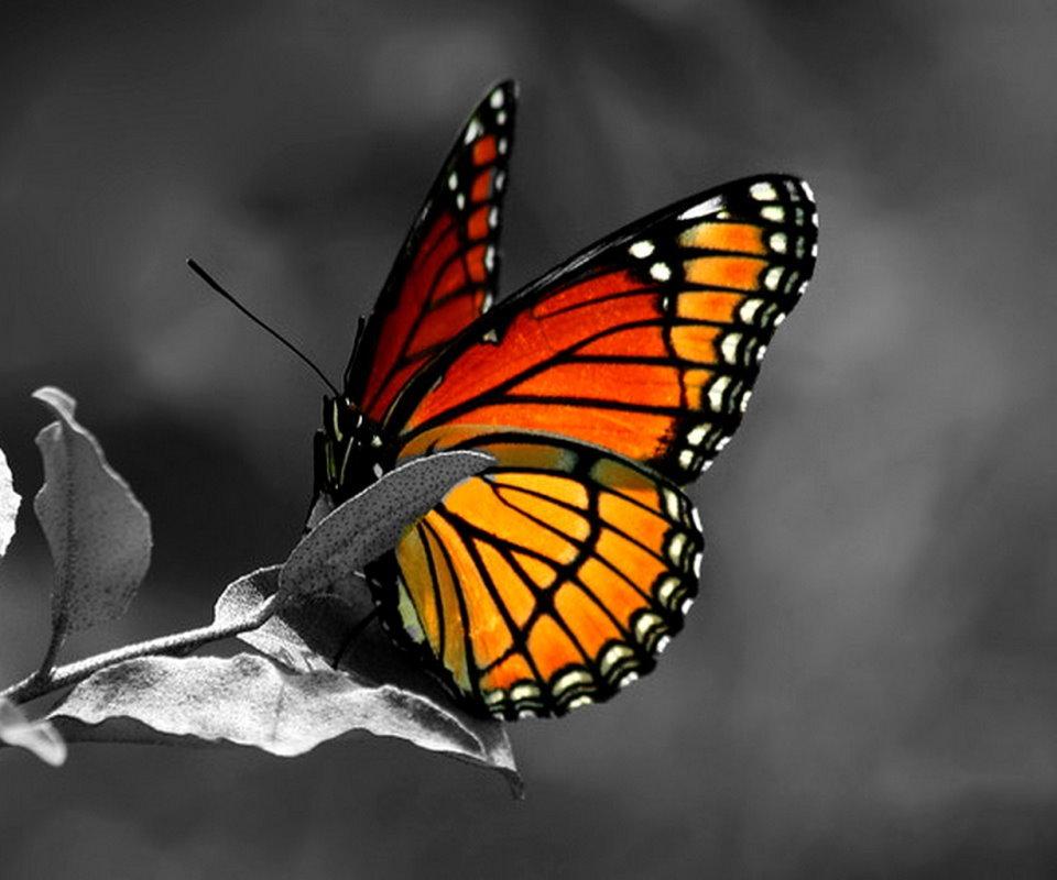 13014 скачать обои Насекомые, Бабочки - заставки и картинки бесплатно